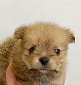 118111 MIX犬(ポメラニアン×ヨークシャテリア)