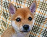 柴犬(豆タイプ)