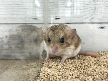マカロニマウス