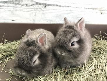 ミニウサギ(ネザーランド×ライオンドワーフ)