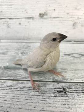手乗り文鳥(シルバー)