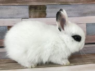 ミニウサギ(ネザーランド×ホト)
