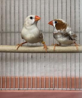 イザベラキンカ鳥
