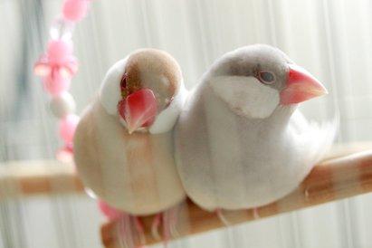 パステルシルバー文鳥