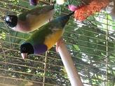 ノーマルコキン紫胸黒頭